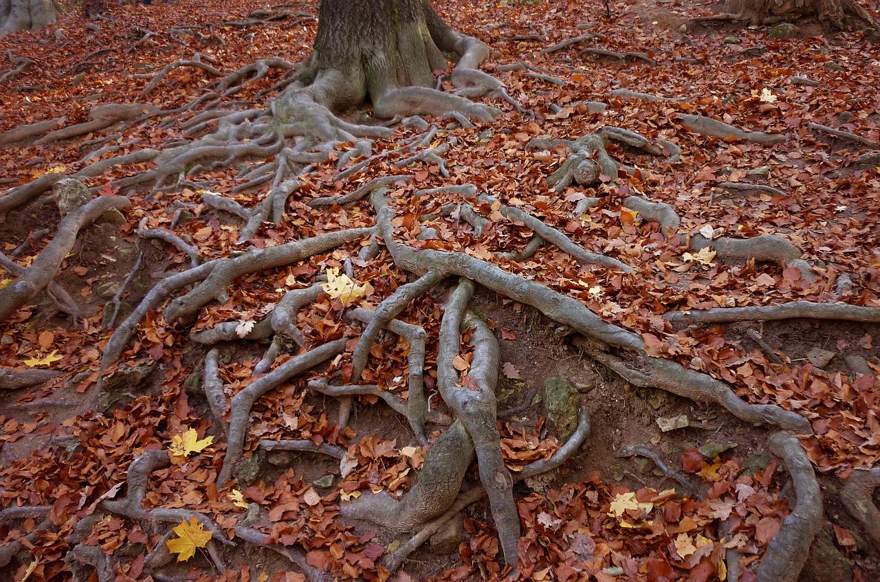 שורשי עץ